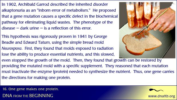 Concept 16: One gene makes one protein.