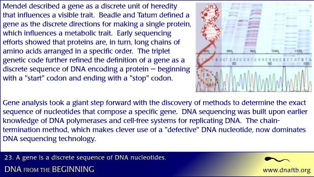 Concept 23: A gene is a discrete sequence of DNA nucleotides.