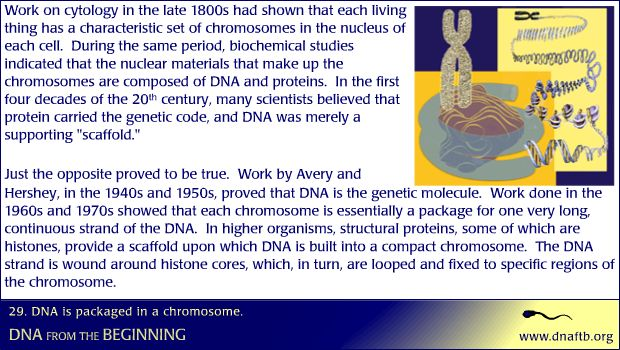 DNA is packaged in a chromosome.