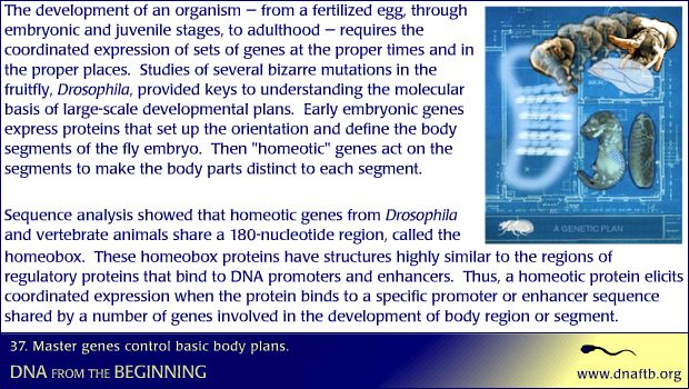 Concept 37: Master genes control basic body plans.