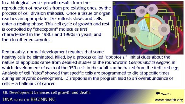 Concept 38: Development balances cell growth and death.